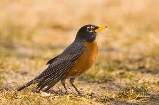 american robin bird flying - photo #18
