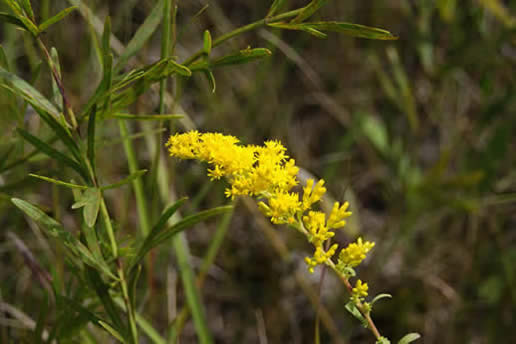 Prairie Grasses and Wildflowers | Linnaeus Arboretum Rosa Arkansana