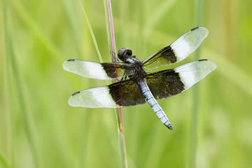 Widow Skimmer