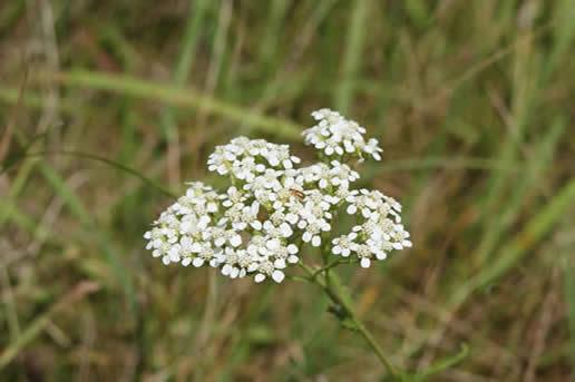 Yarrow Blooms June September