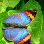 Photo gallery image named: 576px-malaysia_-_penang_butterfly_gardens_-_26_(5208368737).jpg