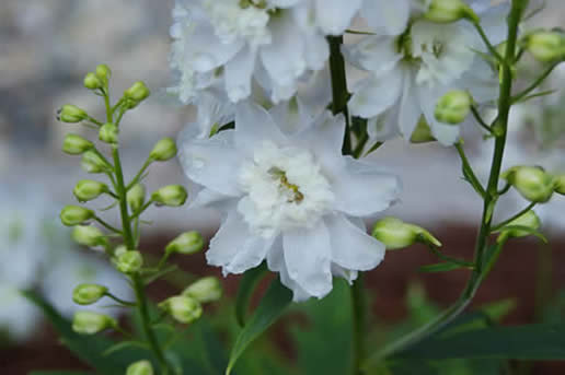 Delphinium pure white magic fountains