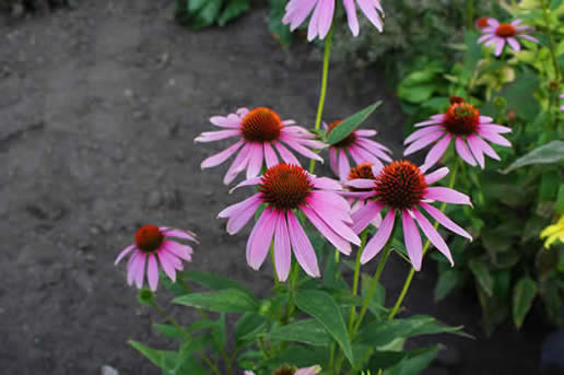 Purple Coneflower bright star