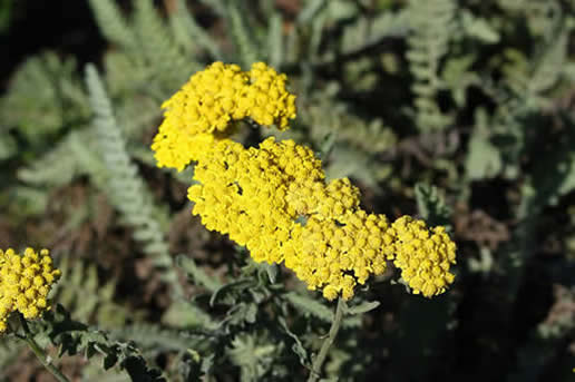 Yarrow 'Moonshine'