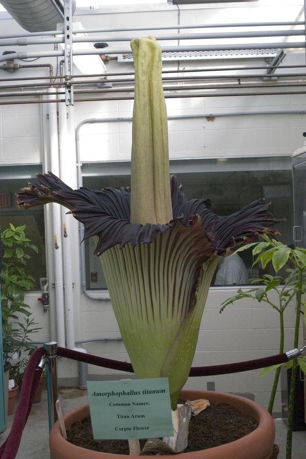 The Gustavus Corpse Flower on Sunday, May 13