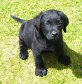 16385 pups-Black-male-puppy-001.jpg