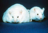 A mouse unable to produce leptin (left) and a normal mouse (right)